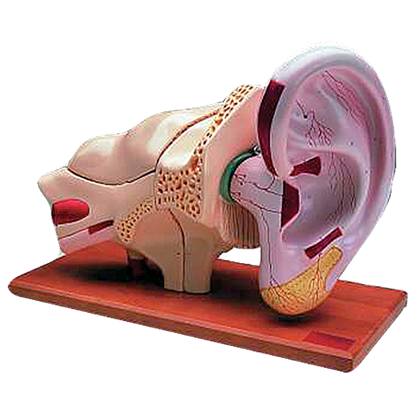 Picture of Giant 8 Part Ear