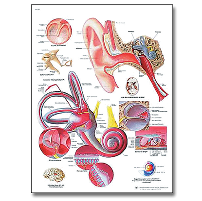 Picture of Human Ear Chart